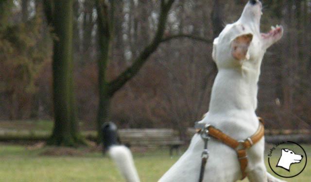 energii, biały jack russell terrier