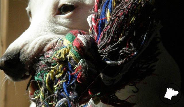 jacka, biały jack russell terrier