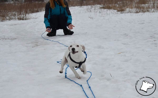 Jack russell terrier i śnieg