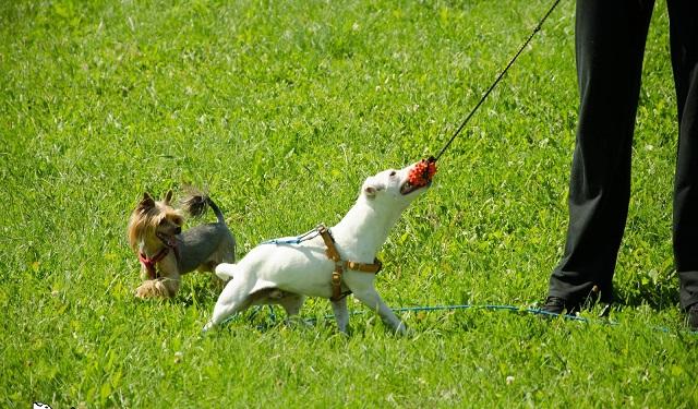 Mały Biały w psim towarzystwie