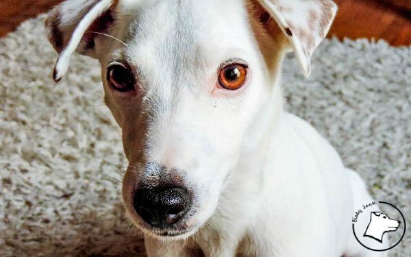Zadławienie u psa – pierwsza pomoc
