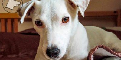 Pies dla alergika