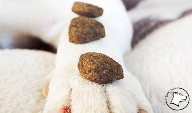 arden grange, biały jack russell terrier