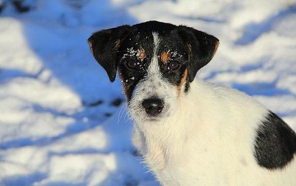 Suczka parson russell terrier do adopcji [nieaktualne]