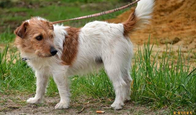 Adopcja: pies w typie jack russell terriera [nieaktualne]
