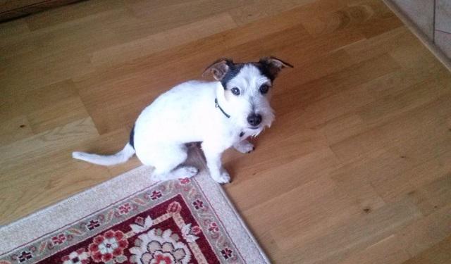 Adopcja: szorstkowłosy pies w typie JRT [nieaktualne]