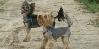 Psy z włosem – nie uczulają?
