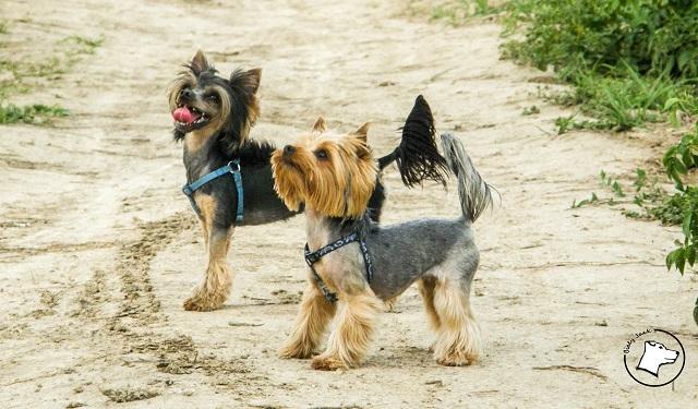 Psy Z Włosem Nie Uczulają Biały Jack
