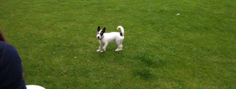 Pies w typie PRT szuka domu [nieaktualne]