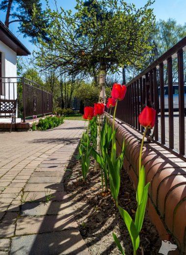 Tulipany witały również przy wejściu naposesję