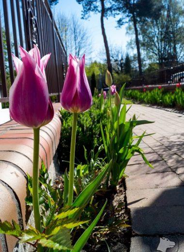 Wejście dorestauracji obsadzone było moimi ulubionymi tulipanami