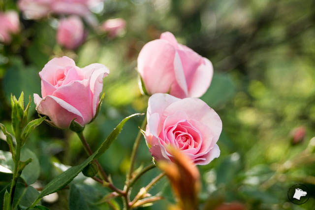 Poranne róże