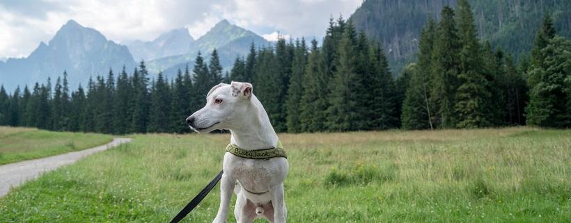 Pies w słowackich Tatrach