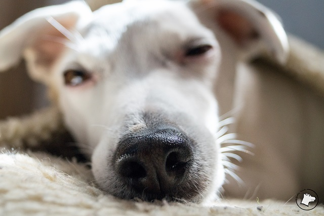 kastracja psa, suchy nos u psa