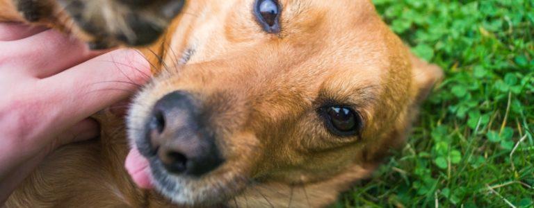 Czy psia ślina leczy rany? [Zagryzamy mity #2]