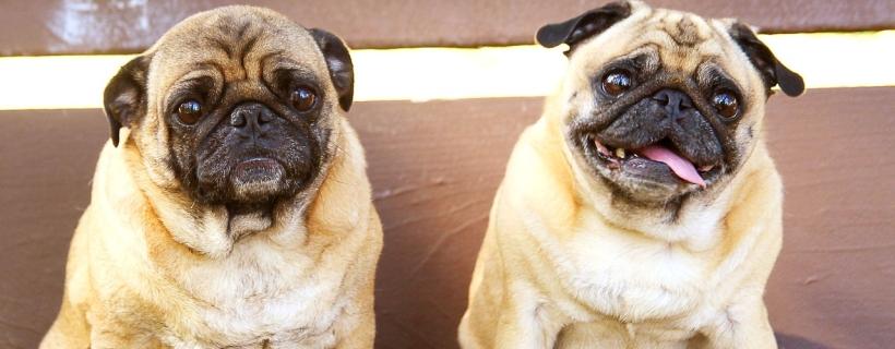 Pies z nadwagą – czy tuczenie to znęcanie?