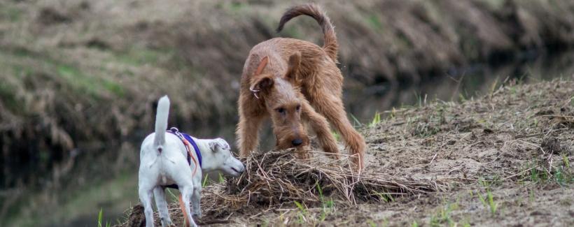 Dwa psy – plusy, minusy, pułapki
