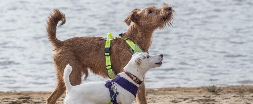 Gładka a szorstka sierść psa – różnice i pielęgnacja