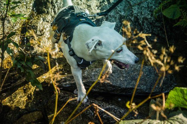 psy w tatrach słowackich