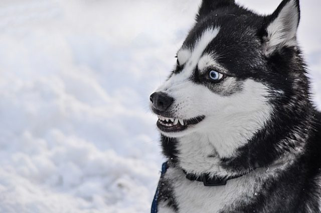 agresja u psa