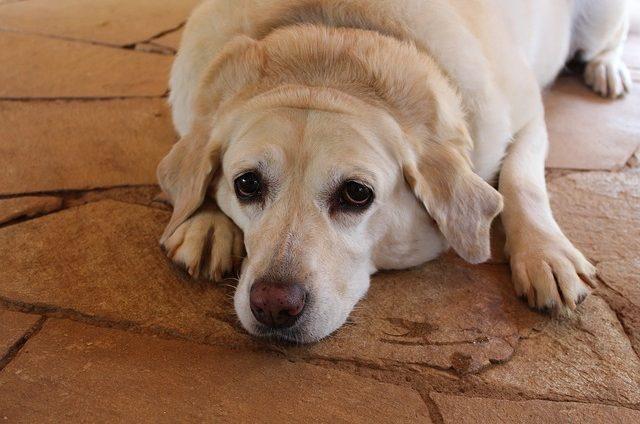 pies z nadwagą