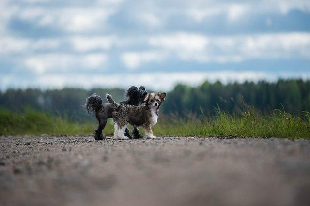 psy z włosem